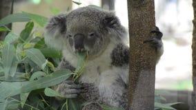 Koala je eukaliptusowego liść zdjęcie wideo
