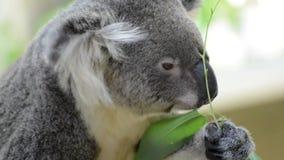 Koala je eukaliptusowego liść zbiory wideo