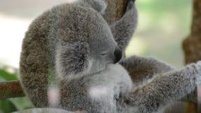 Koala je eukaliptusowego liść zbiory
