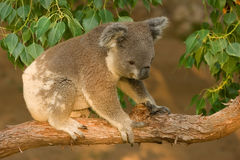 Koala Joey on Branch Stock Image