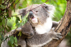 Koala and joey closeup stock photography
