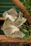 Koala joey eats eucalyptus leaf Royalty Free Stock Photos