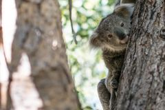 Koala joey hanging on a tree royalty free stock image