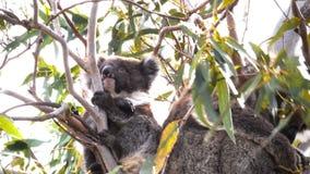 A koala joey in a eucalyptus tree looking around