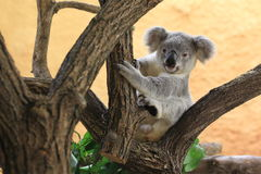 Koala juvenile. The juvenile of koala sitting on the tree royalty free stock photos