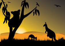 Koala kangaroo Stock Images