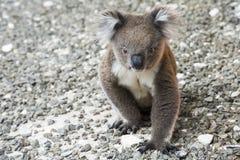 Free Koala, Kangaroo Island, Australia Stock Photography - 80993082