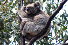 Koala on Kangaroo Island Stock Photos