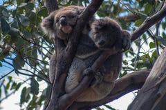 Koala on Kangaroo Island Royalty Free Stock Images