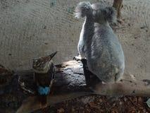 Koala and kookaburra sitting on a branch Royalty Free Stock Image