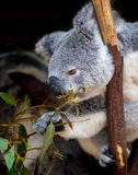Koala leaning forward to grasp gum leaves. As it clings to a branch Stock Photos