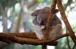 Koala linda que descansa en el parque zoológico, Brisbane, Australia Foto de archivo