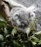 Koala lindo Fotografía de archivo