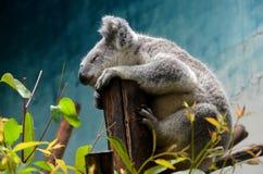 Koala lindo Imágenes de archivo libres de regalías