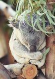 Koala lindo el dormir Imágenes de archivo libres de regalías