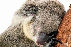 Koala lokalisiert auf weißem Hintergrund lizenzfreie stockbilder