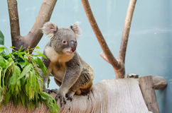 Koala looking something. From branch Royalty Free Stock Photography