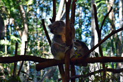 Koala looking on a tree branch eucalyptus Royalty Free Stock Photo