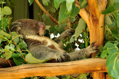 Koala lying on its back and sleeping Royalty Free Stock Images