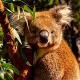 Koala, Mammal, Fauna, Marsupial stock image