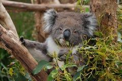 Koala, Mammal, Fauna, Terrestrial Animal royalty free stock images