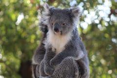 Koala, Mammal, Fauna, Terrestrial Animal stock photos