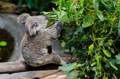 Koala mangeant des lames d'eucalyptus image libre de droits