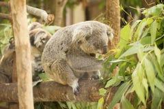 Koala mangeant des lames d'eucalyptus Images stock