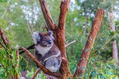 Koala or marsupial bear. Is a herbivorous marsupial mammal. Australia endemic. The only modern representative of the koal family. Ecotourism concept royalty free stock photos