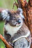 Koala is a marsupial mammal. Australian endemic eating eucalyptus leaves. Koala is a marsupial mammal. The only modern representative of the koal family stock images