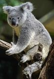 Australian koala large head with round, fluffy ears and large, s Stock Photos