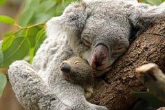 Koala met Baby Royalty-vrije Stock Fotografie