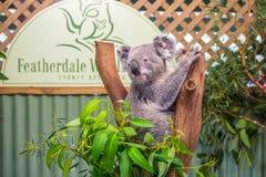 Koala mignon en parc de faune de Featherdale, Australie photographie stock