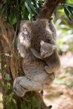 Koala mit dem Baby, das auf einem Baum klettert Lizenzfreies Stockfoto