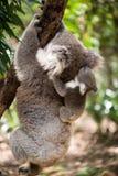 Koala mit dem joey, das auf einem Baum klettert Stockfotografie