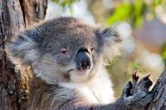 Koala mit piercing Augen Lizenzfreie Stockfotografie