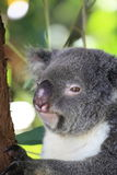 Koala mit Rissen in seinem Auge Stockfotografie