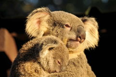 Koala mom is holding her sleeping joey Royalty Free Stock Image