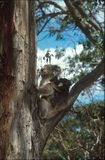 Koala mother and baby. Koala mother and her baby sitting on the eucalyptus tree in Kangaroo Island South Australia Royalty Free Stock Photos
