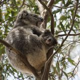 Koala mother and baby Stock Photo