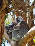 Koala mother and baby Royalty Free Stock Photo