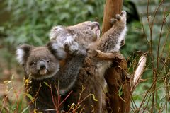 Koala mother and child. Koala mother carrying her child on back Stock Photos