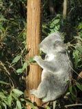 Koala na árvore Imagem de Stock