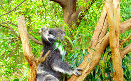 Koala na árvore fotos de stock