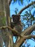Koala na árvore de eucalipto imagem de stock