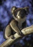 Koala na drzewie Zdjęcia Royalty Free