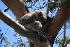 Koala na drzewie w Południowym Australia Obraz Stock