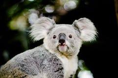Koala na drzewie z krzak zieleni tłem Obraz Royalty Free