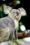 Koala na drzewie z krzak zieleni tłem Fotografia Stock
