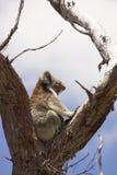 Koala na parte superior da árvore foto de stock